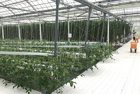 パナプラスハウス内でのトマト栽培の様子