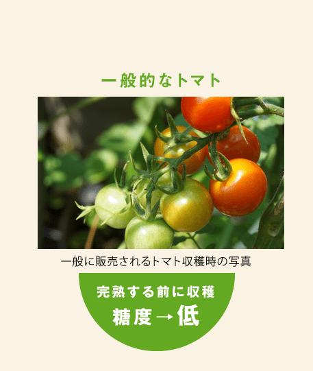 一般的なトマト 一般に販売されるトマト収穫時の写真 完熟する前に収穫 糖度→低