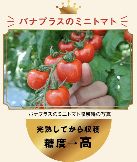 パナプラスのミニトマト パナプラスのミニトマト収穫時の写真 完熟してから収穫 糖度→高