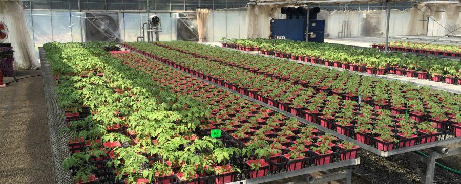 写真:野菜苗、トマトの生産・栽培・管理